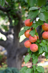 Apricots on large apricot tree