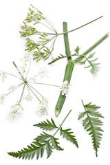 Wiesen-Kerbel (Anthriscus sylvestris) Details der Pflanze