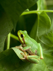 Green tree frog hiding in foliage