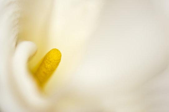 Pistil d'un arum blanc