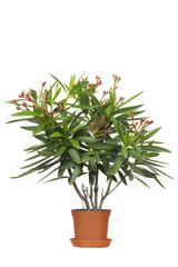 Oleander Zimmerpflanze