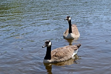 Two geese swimming together on a lake