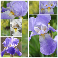 Collage from Iris flowers