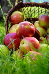 Wall Mural - Apples in the Basket.