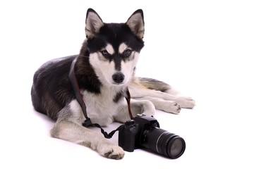 liegender Hund Husky mit Foto Kamera