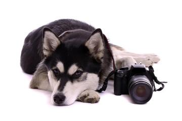 Hund Husky liegend mit Foto Kamera