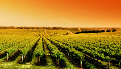 Fototapete - Vineyard Sunrise