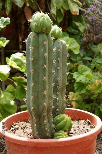 San pedro heiliger kaktus stockfotos und lizenzfreie bilder auf bild 32919917 - Kaktus zimmerpflanze ...