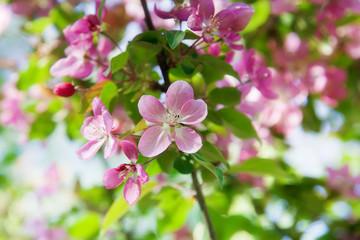 Blooming wild apple-trees