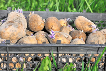 Potato seeds in a box.