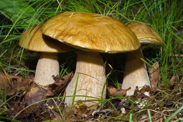 Mushrooms (Cape) 3