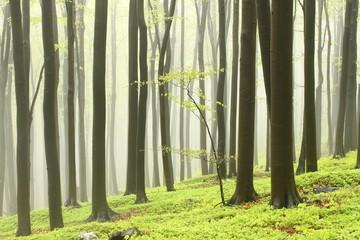 Keuken foto achterwand Bos in mist Spring beech forest in the fog