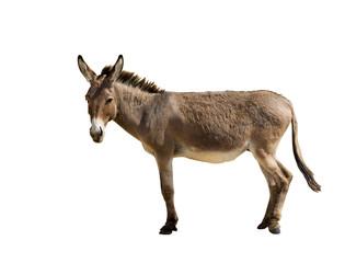 Poster Ane Donkey