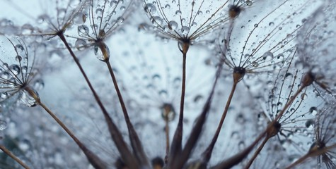 Wall Murals Dandelions and water Dandelion seed with drops