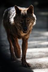 Wolf Close Up Portrait