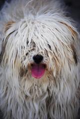 White hairy puppy closeup