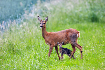 Spoed Fotobehang Ree doe with very young fawn, Capreolus capreolus