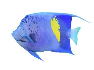 Yellowbar Angelfish isolated on white background