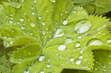 Raindrops on the leaves of dear lady's mantle