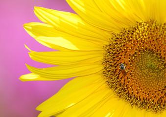 Sunflower with pink backfround