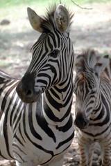 Photo Stands Zebra Zebra with offspring