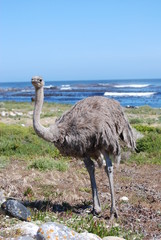 Ostrich on the beach
