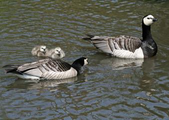 Barnacle Geese and goslings