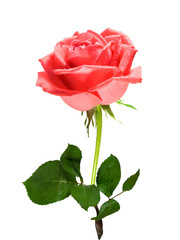 Red one rose