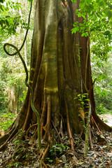 tropical big fig tree