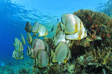 School of Fish: Longfin Spadefish (Platax teira)