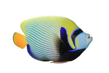 Emperor Angelfish (Pomacanthus imperator) on white background