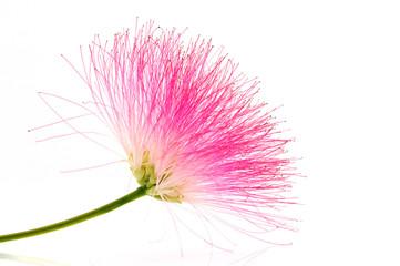 Fleur de l'Albizia julibrissin sur fond blanc