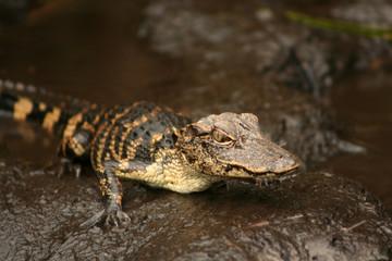 Babies Alligator
