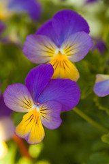 Violet yellow pansies