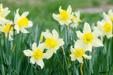 Papiers peints Narcisse Beautiful spring flowers