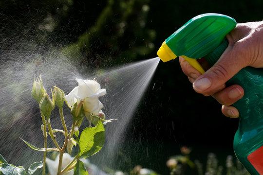 Schädlingsbekämpfung. Rosen im Garten
