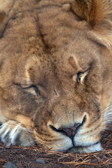 A lioness sleeping at Orana Wildlife Park, Christchurch.