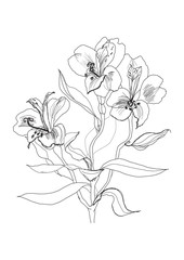 pen drawing alstrameriya flower
