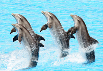 A group of bottlenose dolphins (Turisops Truncatus)