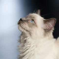 Printed roller blinds Cat Ragdoll cat looking up with a blue background