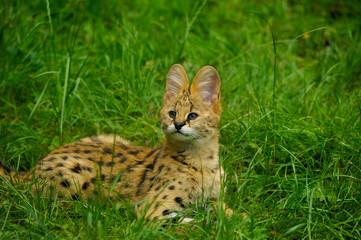 portrait de bébé serval couché dans l'herbe