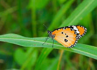 Orange butterfly wings.