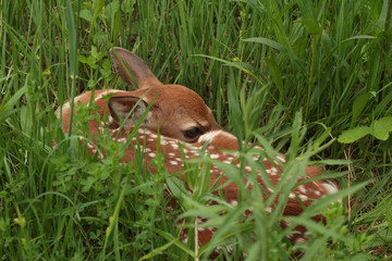 White-tailed Deer Fawn Hiding in a Meadow - Ontario, Canada