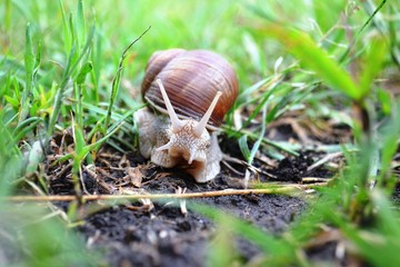 large snail with a shell crawling on the ground