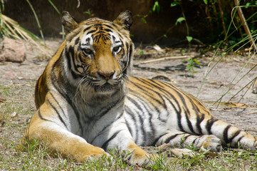 Tiger relaxing
