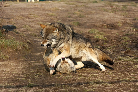 alpha male wolf showing who is boss