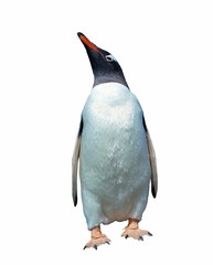 Isolated gentoo penguin with clipping path
