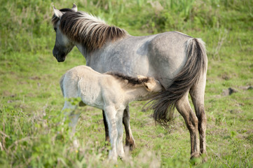 wild filly drinking by his mother