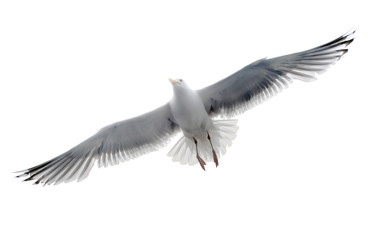 Isolated seagull on the white background