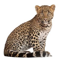 In de dag Luipaard Leopard, Panthera pardus, 6 months old